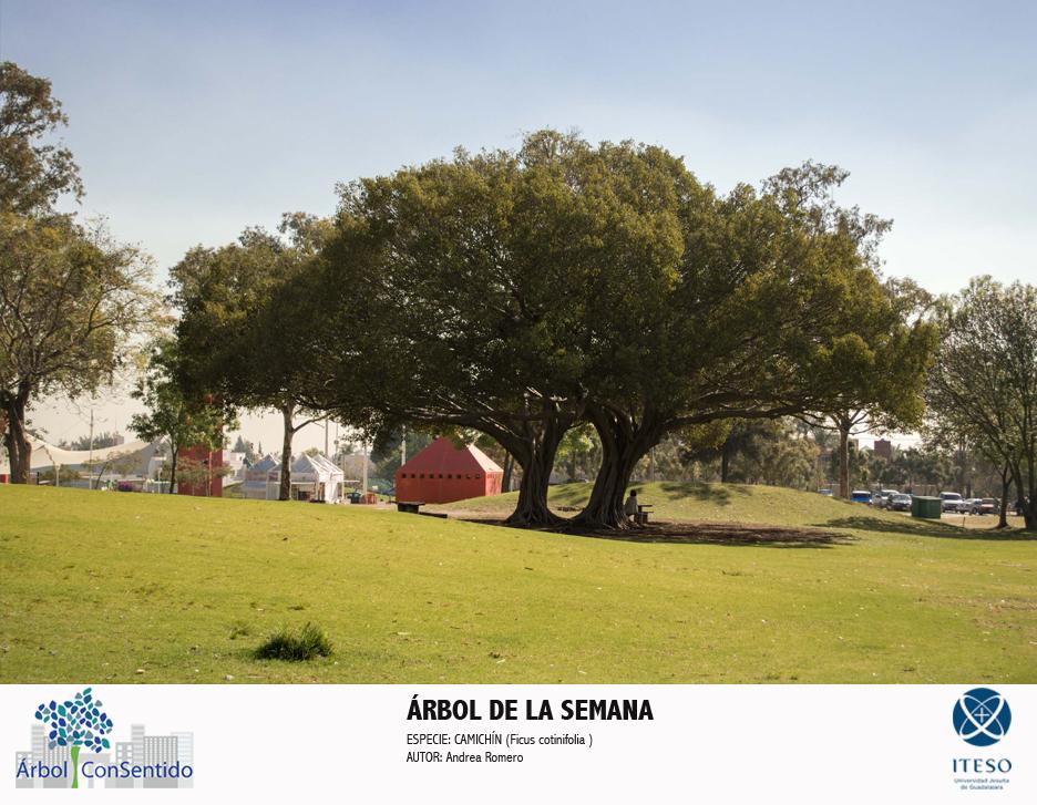 ARBOL DE LA SEMANA CAMICHIN ANDREA ROMERO